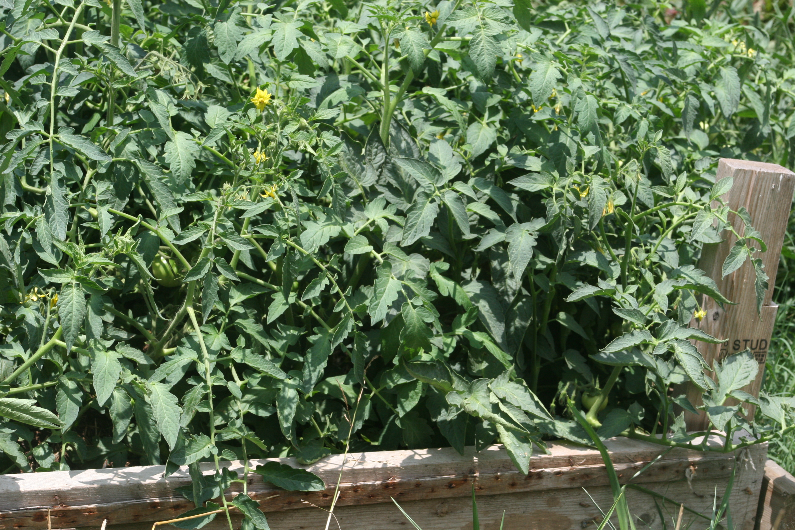 Those are tomato plants growing so thick they look like weeds!